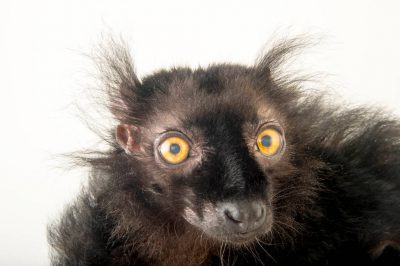A vulnerable black lemur (Eulemur macaco) at the St. Louis Zoo. This species is dimorphic with the male being black and the female colored brown.