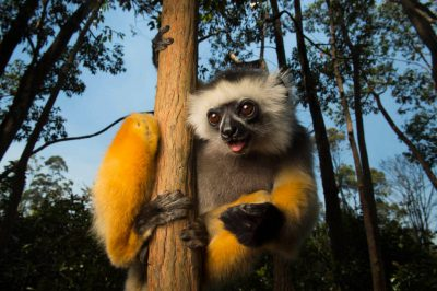 Photo: A critically endangered Diademed sifaka (Propithecus diadema) at Lemuria Land in Madagascar.