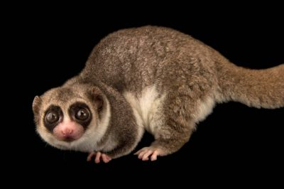 Picture of a Western fat-tailed dwarf lemur (Cheirogaleus medius) at the Parc Botanique Et Zoologique de Tsimbazaza.