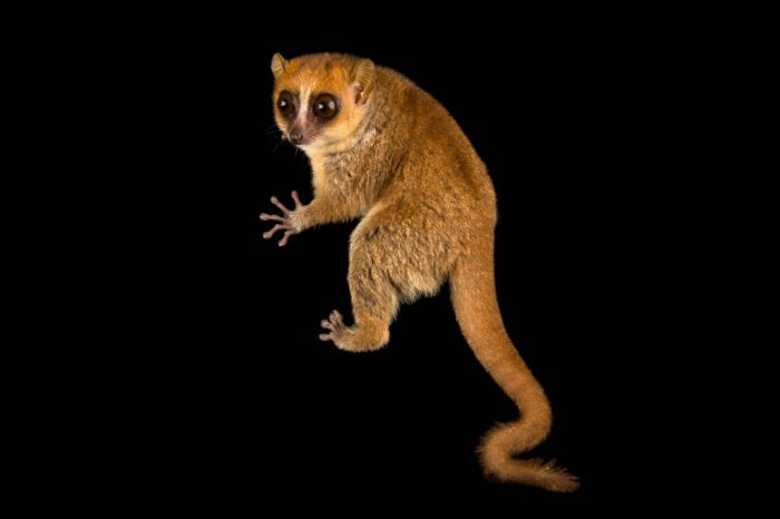 Photo: A vulnerable rufous mouse lemur (Microcebus rufus) at the Parc Botanique Et Zoologique de Tsimbazaza.