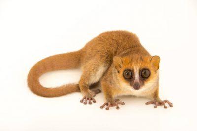 A picture of a rufous mouse lemur (Microcebus rufus) at the Parc Botanique Et Zoologique de Tsimbazaza.
