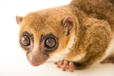 Photo: Greater dwarf lemur (Cheirogaleus major) at the Parc Botanique Et Zoologique de Tsimbazaza.