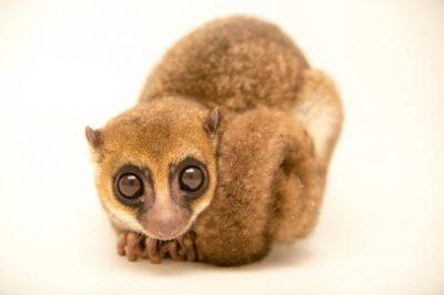 Photo: Greater dwarf lemur (Cheirogaleus major) at the Parc Botanique Et Zoologique de Tsimbazaza.