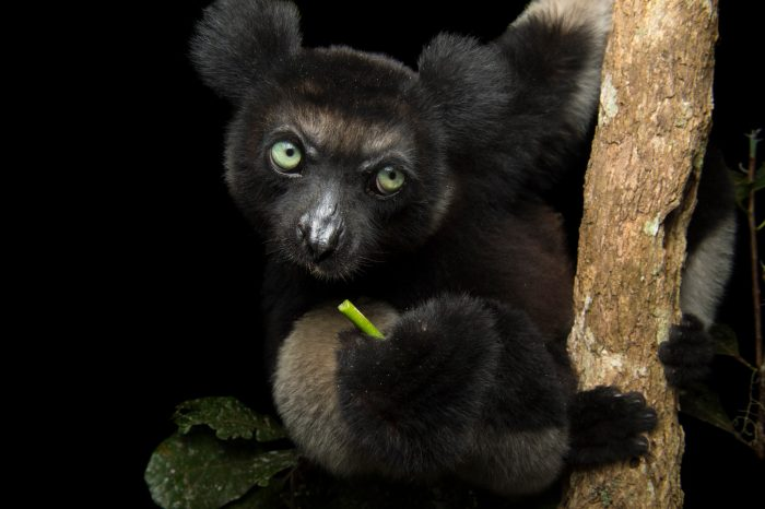 A critically endangered Indri (Indri indri), the worlds largest lemur, in the Analamazaotra Forest Station in Andasibe, Madagascar. This is a four year old female named Davida.