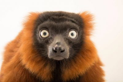 Picture of an endangered red ruffed lemur (Varecia rubra) at the Plzen Zoo.