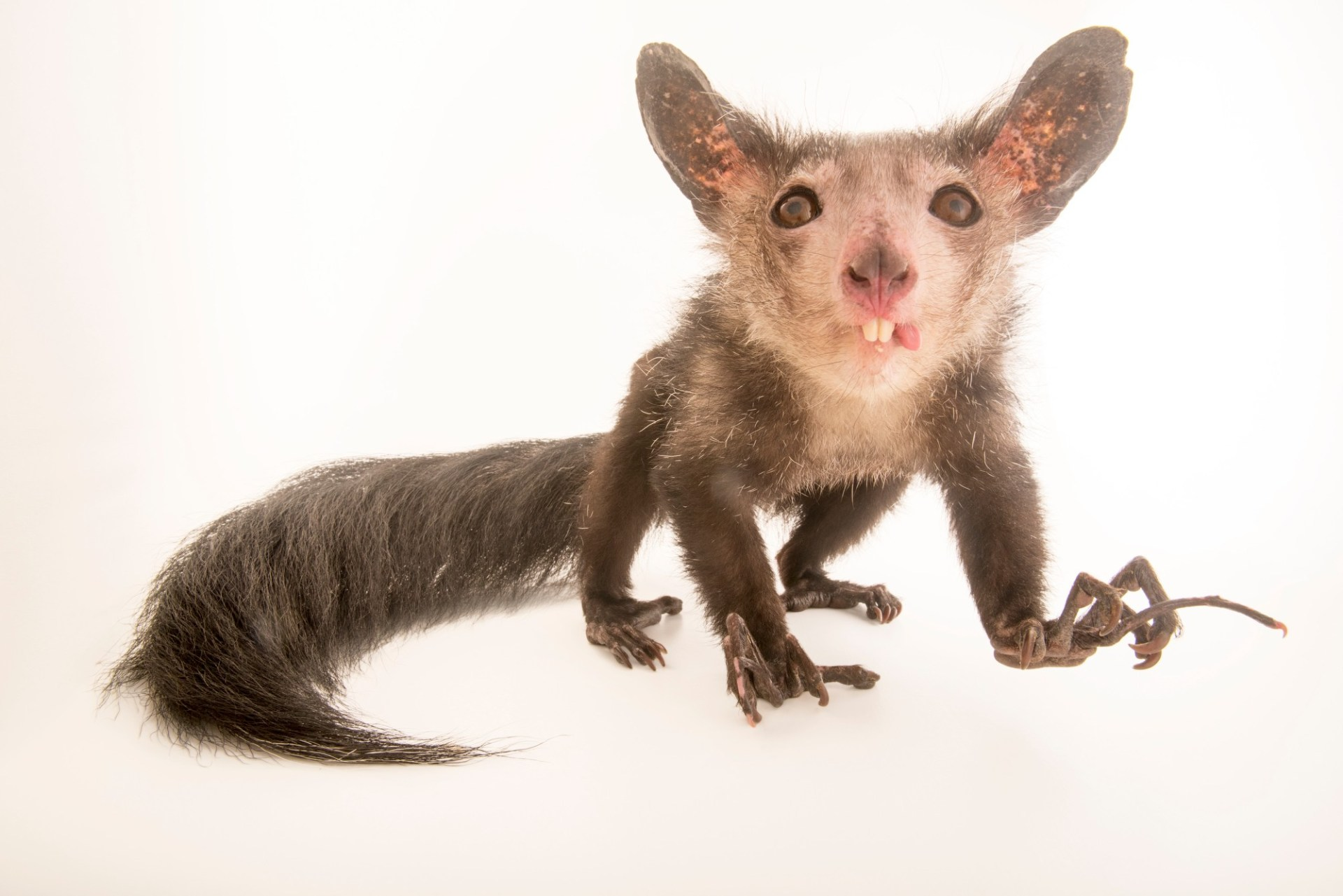 Photo: An aye-aye (Daubentonia madagascariensis) named Endora at Duke Lemur Center in Durham, North Carolina.