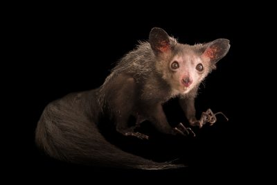 Photo: An aye-aye (Daubentonia madagascariensis) named Endora at Duke Lemur Center in Durham, North Carolina.