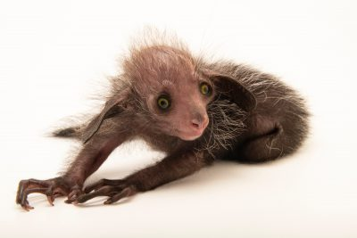 Photo: Baby aye-aye (Daubentonia madagascariensis) named Tonks, 16 days old, at the Denver Zoo.