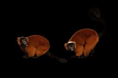 Photo: A pair of endangered red ruffed lemurs (Varecia rubra) Miller Park Zoo.