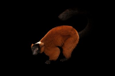 Photo: An endangered red ruffed lemur (Varecia rubra) at the Miller Park Zoo.