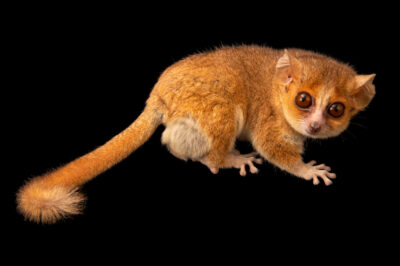 Photo: A Ganzhorn's mouse-lemur (Microcebus ganzhorni) at the Plzen Zoo in the Czech Republic.