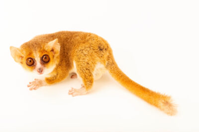 Photo: A Ganzhorn's mouse-lemur (Microcebus ganzhorni) at the Plzen Zoo in the Czech Republic.