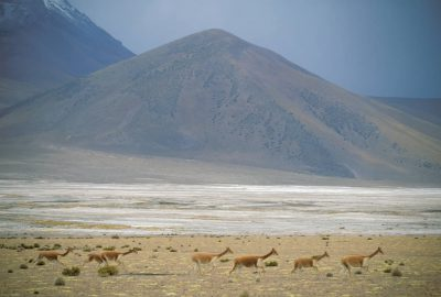 Photo: Vicunas in the high Andes near the Chile/Bolivia border in the Atacama Desert.