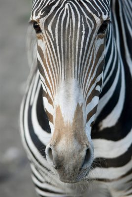 An endangered (IUCN) and federally threatened Grevy's zebra (Equus grevyi) at the Omaha Zoo.