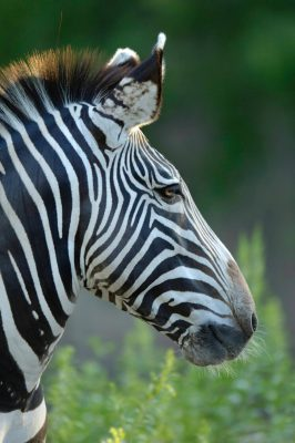 A zebra from the Sedgwick County Zoo.