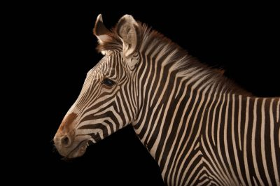 An endangered (IUCN) and federally threatened Grevy's zebra (Equus grevyi) at the Lee G. Simmons Conservation Park and Wildlife Safari near Ashland, Nebraska.