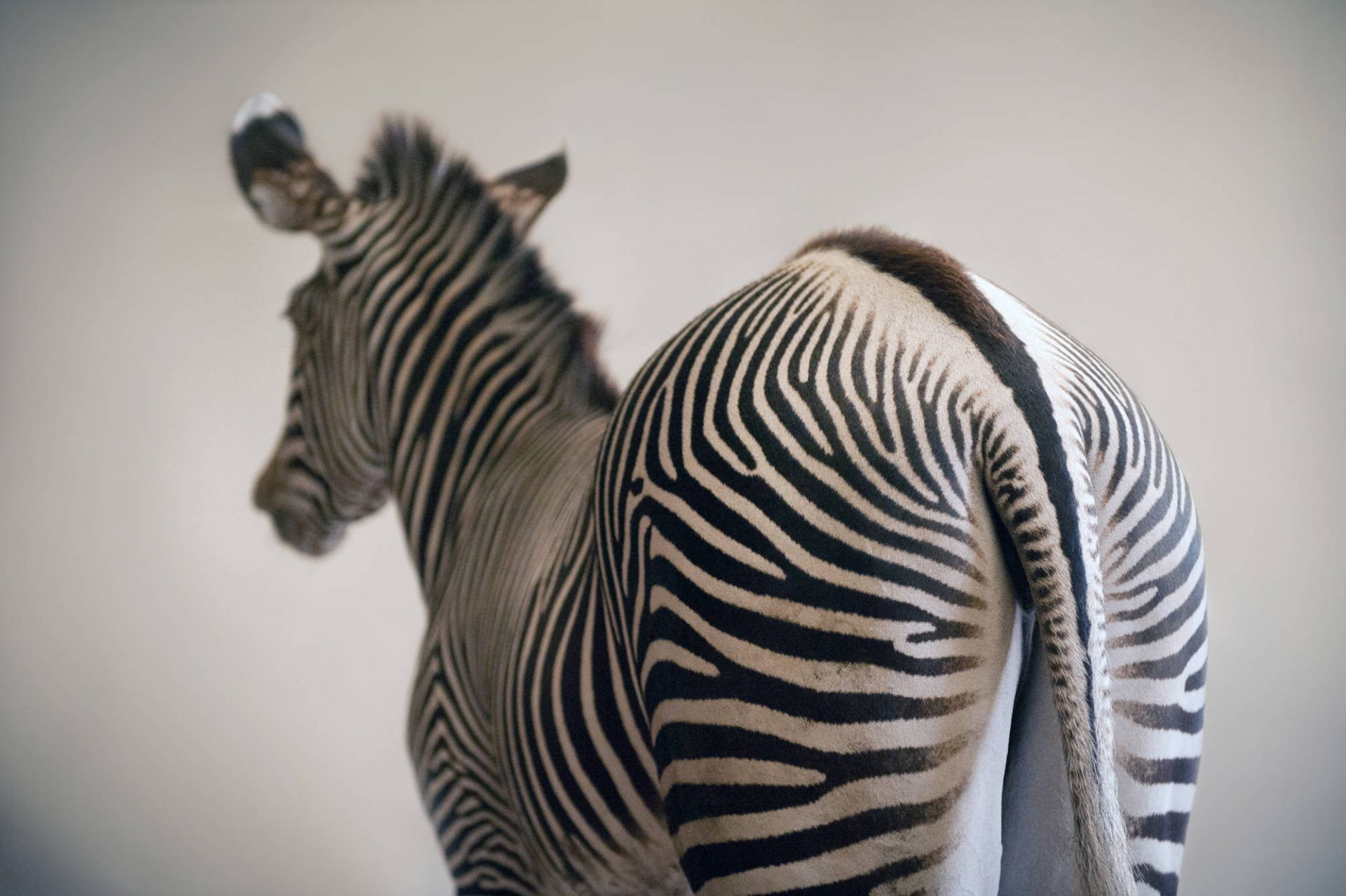 An endangered (IUCN) and federally threatened Grevy's zebra (Equus grevyi) at the Lee G. Simmons Conservation Park and Wildlife Safari near Ashland, Nebraska.
