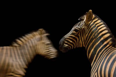 A pair of Burchell's zebras (Equus quagga burchellii) at Zoo Atlanta.