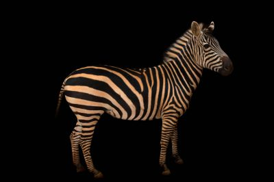 A Burchell's zebra (Equus quagga burchellii) at Zoo Atlanta.