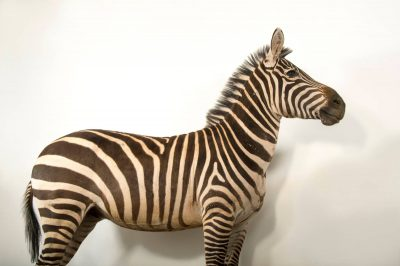 Picture of a Grant's zebra (Equus quagga boehmi) named Mugambi, which means 'King'.