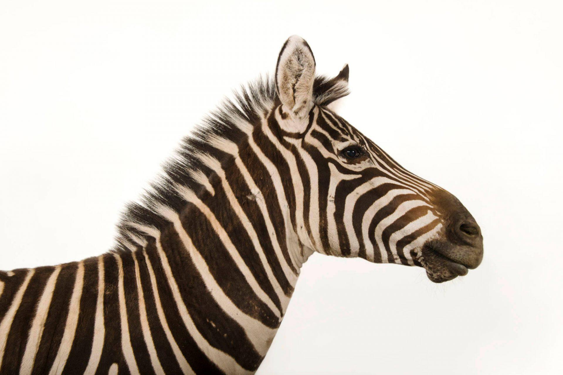 A Grant's zebra (Equus quagga boehmi) named Mugambi, which means 'King' at the Cheyenne Mountain Zoo.