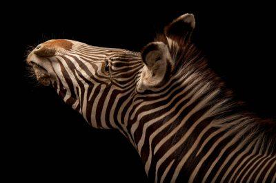 Photo: Grevy's zebra at the Lee G. Simmons Conservation Park and Wildlife Safari near Ashland, Nebraska.
