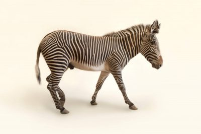 Photo: Grevy's zebra at the Lee G. Simmons Conservation Park and Wildlife Safari near Ashland, Nebraska.