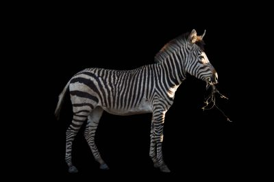A vulnerable (IUCN) and federally threatened Hartmann's mountain zebra (Equus zebra hartmannae) eats hay at the Lowry Park Zoo.