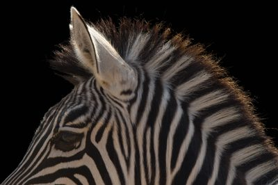 Picture of a Grant's zebra (Equus quagga boehmi) at the Houston Zoo.