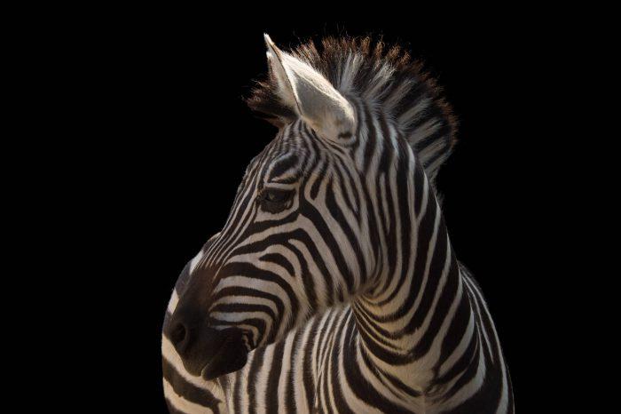 Picture of a Grant's zebra (Equus quagga boehmi) at the Houston Zoo.