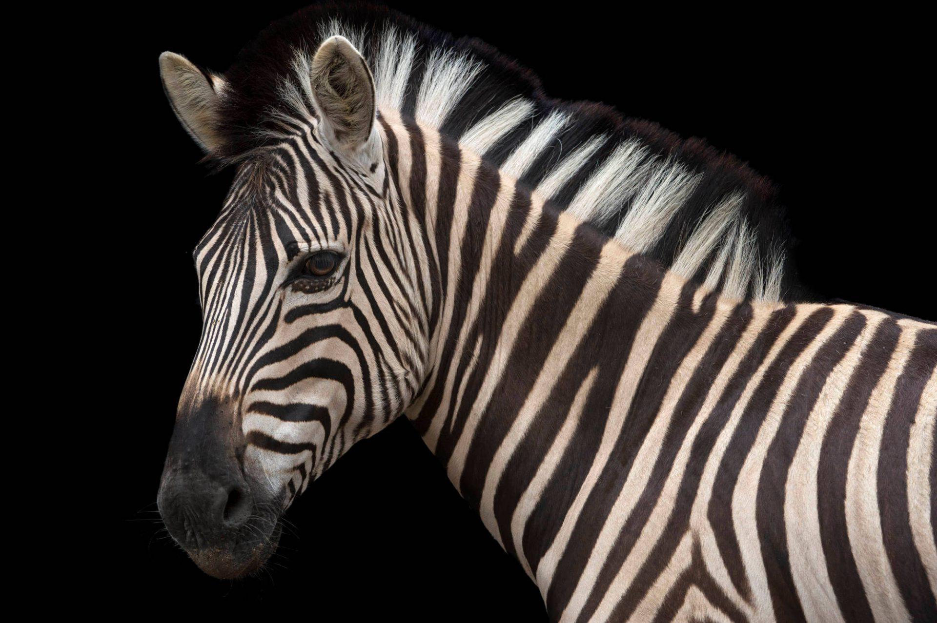 Picture of a Damara zebra (Equus burchellii antiquorum) at the Naples Zoo.