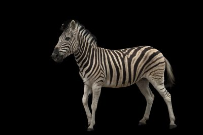 Picture of a Damara zebra (Equus burchellii antiquorum) at the Naples Zoo.