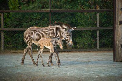Photo: Zebras at Safari Park Dvur Kralove.