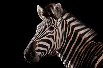 Photo: Chapman's zebra (Equus quagga chapmani) at Wroclaw Zoo.