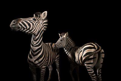 Photo: Two Chapman's zebras (Equus quagga chapmani) at Wroclaw Zoo.