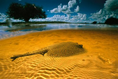 Photo: A freshwater stingray in the flooded pastures of Barra Mansa Ranch in Brazil's Pantanal.