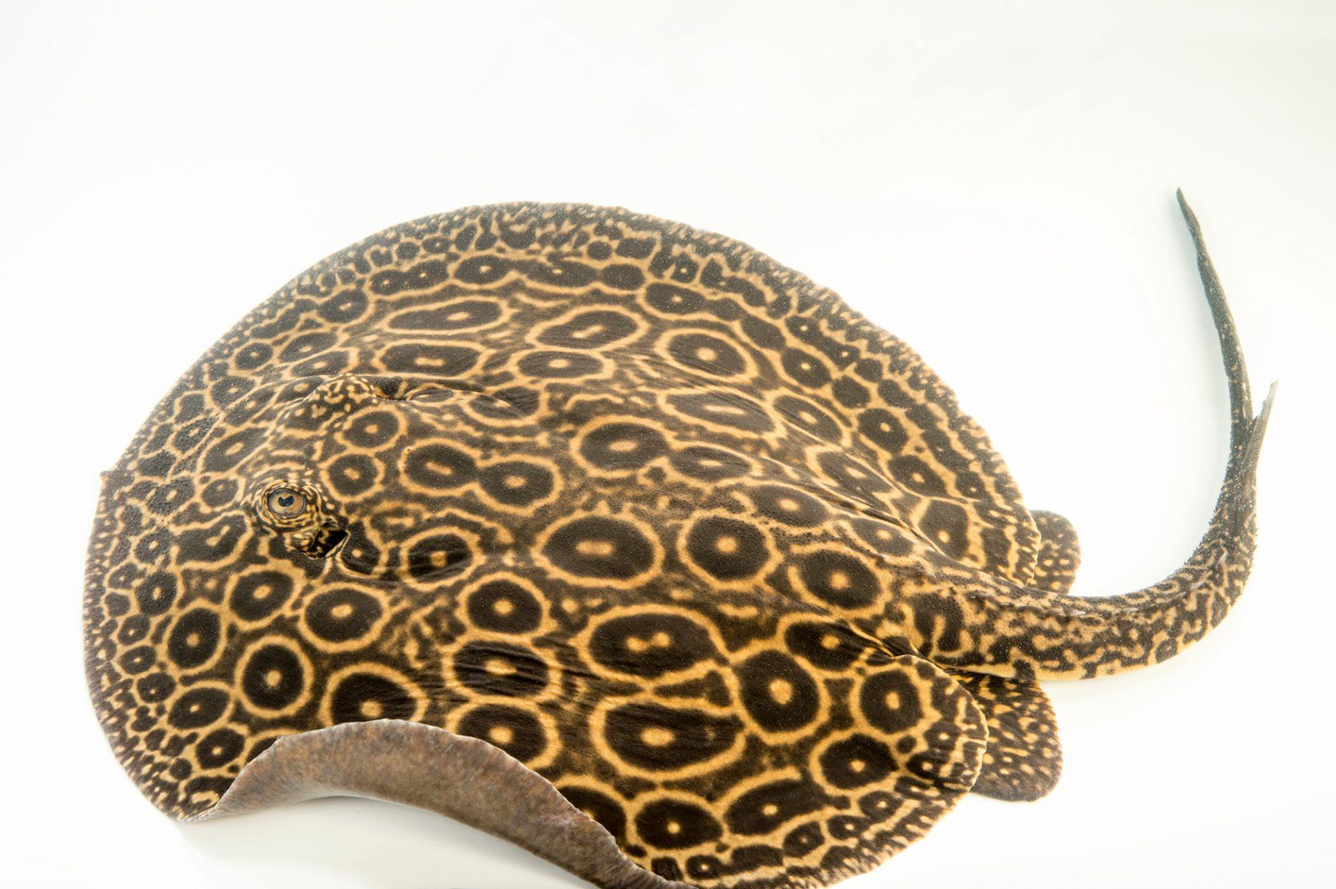 Photo: Pearl ray (Potamotrygon sp. still undescribed) at L'aquarium tropical du palais de la Porte DorŽe.