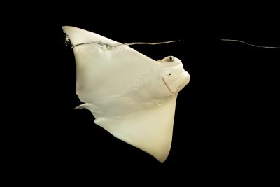 Photo: Cownose ray, Rhinoptera bonasus, at Phoenix Zoo. This is a 4 month old ray pup named Faith Hill.