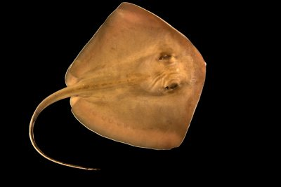 Photo: Southern stingray (Dasyatis americana) at Gulf Specimen Marine Lab.