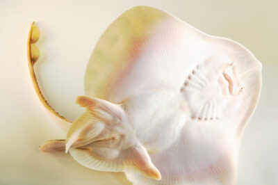 Photo: A little skate (Leucoraja erinacea) at the Maine State Aquarium in West Boothbay, ME.