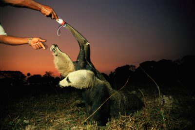 Photo: A giant anteater is bottle-fed on a ranch in Brazil's Pantanal region.