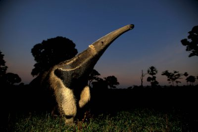Photo: A giant anteater in Brazil's Pantanal region.