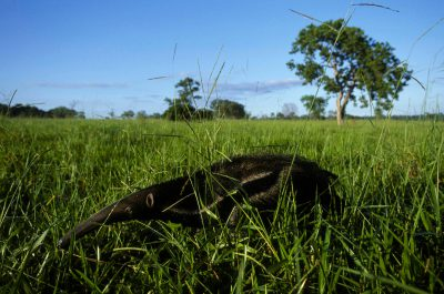 A vulnerable giant anteater (Myrmecophaga tridactyla) in Brazil's Pantanal region.