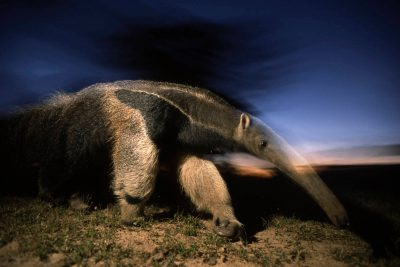 A giant anteater (Myrmecophaga tridactyla) in Brazil's Pantanal region. (IUCN: vulnerable)