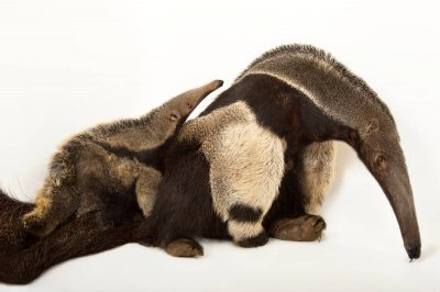 Picture of a vulnerable giant anteater (Myrmecophaga tridactyla) named Ellie Mae with her pup, Zander, at the Caldwell Zoo in Tyler, Texas. Zander was born in January, 2013.