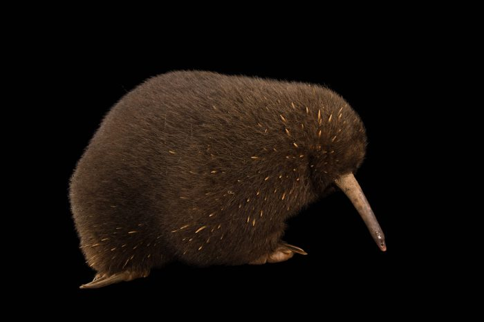 Picture of a critically endangered eastern long-beaked echidna (Zaglossus bartoni) named J.R. at the Taronga Zoo.