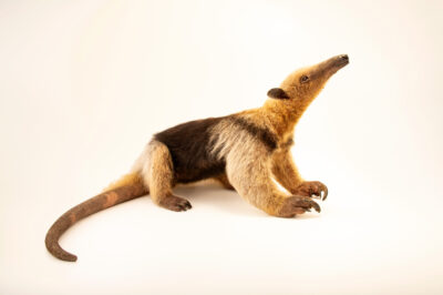 Photo: A southern tamandua (Tamandua tetradactyla quichua) from West Ecuador, at Zoologico de Quito.