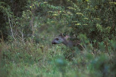 A tapir (Tapirus terrestris) hides in the trees of the marshy Pantanal. Listed as vulnerable (IUCN) and federally endangered