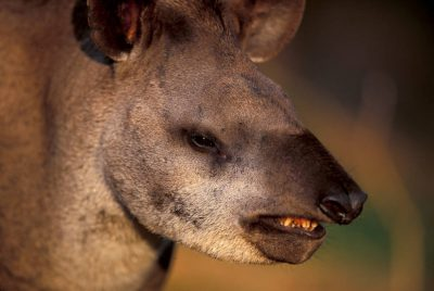A close-up of a tapir (Tapirus terrestris) in the Pantanal. Listed as vulnerable (IUCN) and federally endangered
