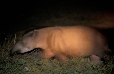 A tapir (Tapirus terrestris) in the Pantanal. Listed as vulnerable (IUCN) and federally endangered.